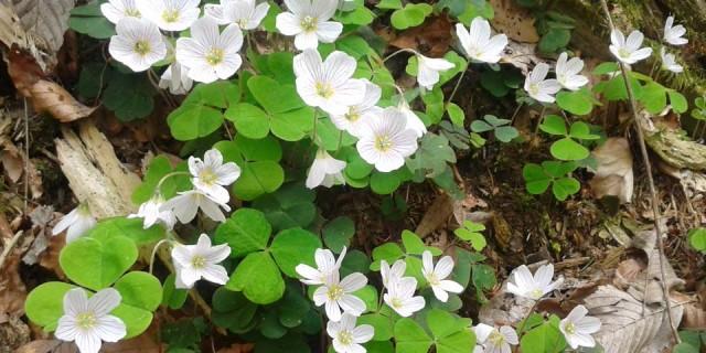 Weiße Blüten und frisches Grün auf altem Laub